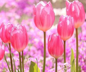 flowers, tulip, and pink image