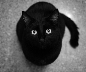 animal, black and white, and black cat image