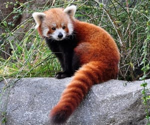 animals, nature, and Red panda image