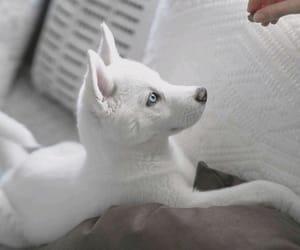 dog, husky, and pet image