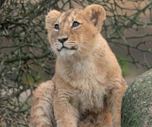 animals, lions, and widlife image