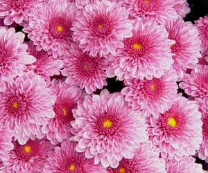 colors, flowers, and pink image