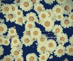 daisies, flowers, and daisy image