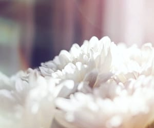 flowers, photography, and white flowers image