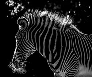 animals, b&w, and photography image