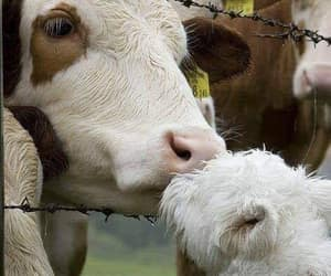 cows, friendships, and friends image