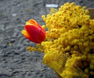 beautiful, yellow flowers, and mimosa image