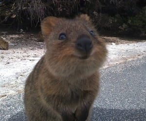 cute, animal, and quokka image