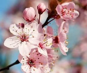 blossoms, cherry blossoms, and cozy image