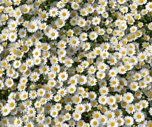 flowers, white flowers, and nature image
