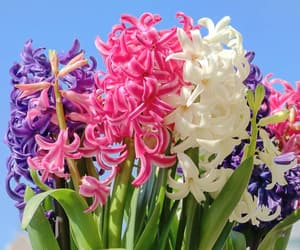 flora, flowers, and hyacinth image