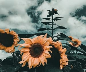 flowers, sunflower, and beauty image
