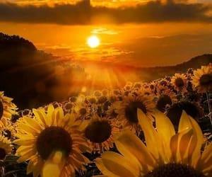 sunflowers image