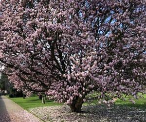 cherry blossoms, nature, and sakura image