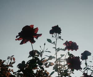aesthetics, roses, and sky image