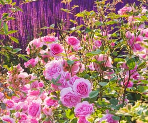 colors, roses, and spring image