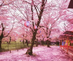 cherry blossoms, kyoto, and sakura image