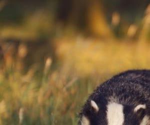badger, hufflepuff, and yellow image