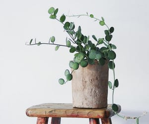 decor, homeplant, and silver dollar vine image