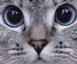 beautiful, cat, and gray image