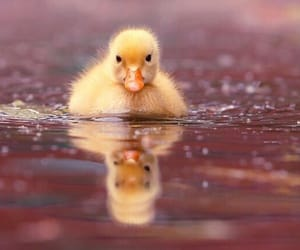 adorable, lake, and duckling image