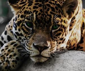 animal, leopard, and jaguar image