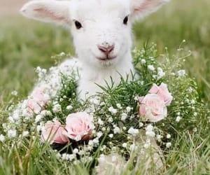 animal, baby, and lamb image