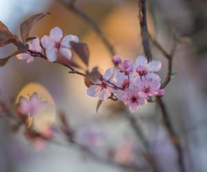 bokeh, cherry blossom, and photo image