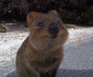 cute, animal, and quokka image