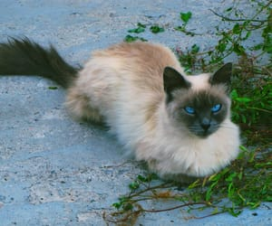 beautiful, blue eyes, and cats image
