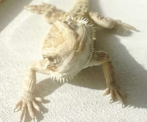 baby, personality, and bearded dragon image