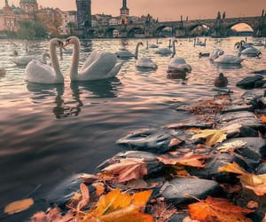 autumn, prague, and Swan image