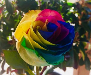 color, colorful, and rose image