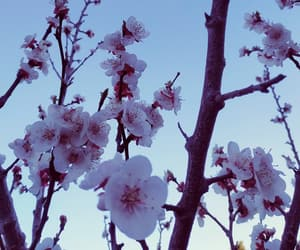 apricot, apricot tree, and flowers image