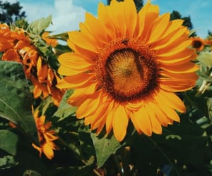 beautiful, sunflower, and yellow and green image