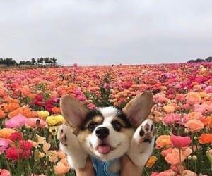 dog, animal, and corgi image