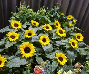 basel, flores, and sunflower image