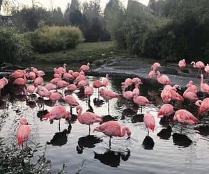 flamingo, pink, and nature image