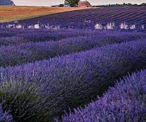 lavender field and ladysuzanne image