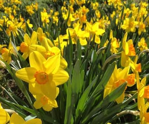 daffodils, flora, and flowers image