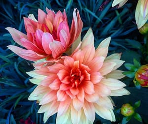 dahlia, flowers, and flora image