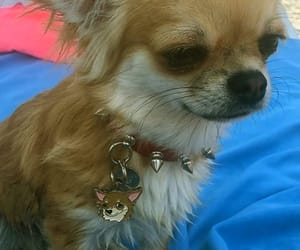 cane, chihuahua, and name tag image