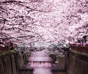 cherry blossoms, japan, and spring image