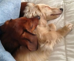 animals, aww, and dachshunds image