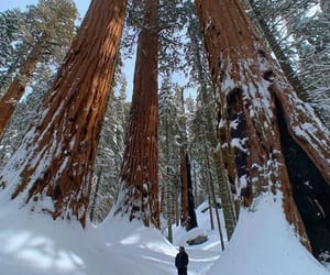 white snow, traveler, and redwood forest image