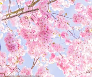 cherry blossoms, dreamy, and flora image