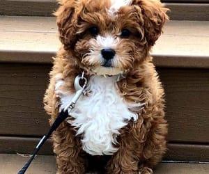 animal, brown, and poodle image