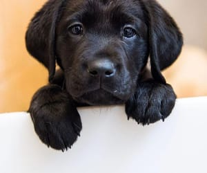 dogs, inspiration, and labrador image