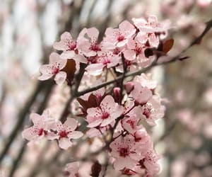 cherry blossoms, festival, and flowers image
