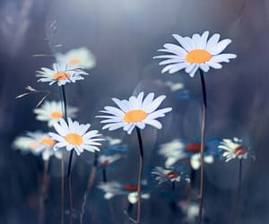 flowers, daisies, and beautiful image